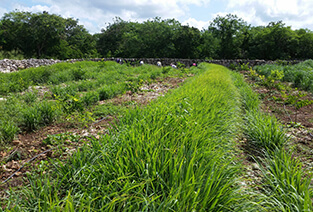 Field of lemongrass mexico