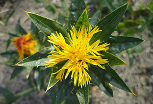 Amazing Health Benefits of Safflower Oil